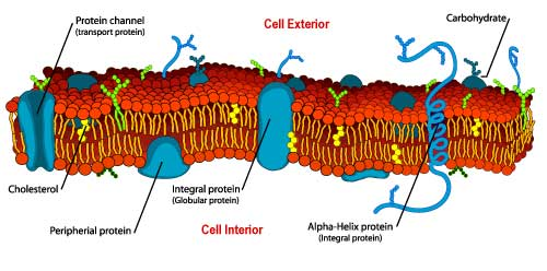 cell wall showing protein stands